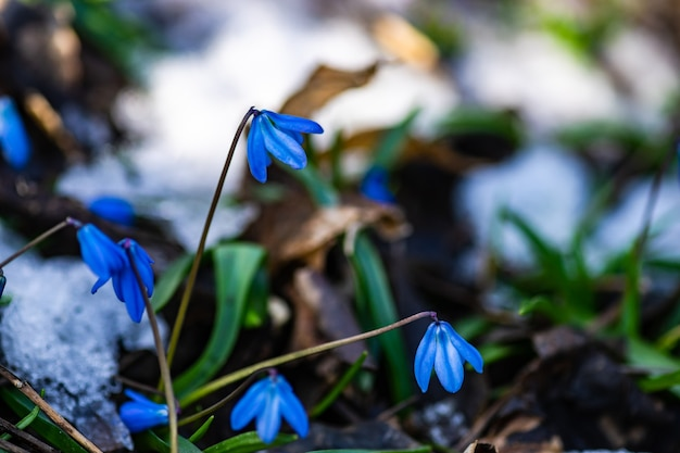 Eerste blauwe bloemen in een bosclose-up