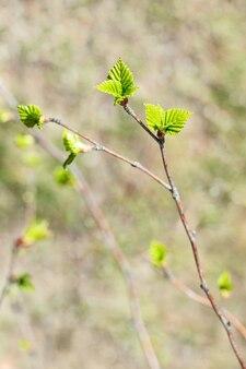 Eerste de lentebladeren op vaag groen