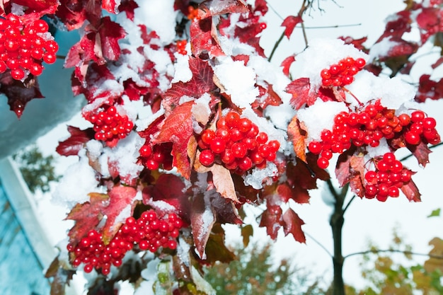 Eerste herfstsneeuw op viburnumstruik met rode bessenbossen.