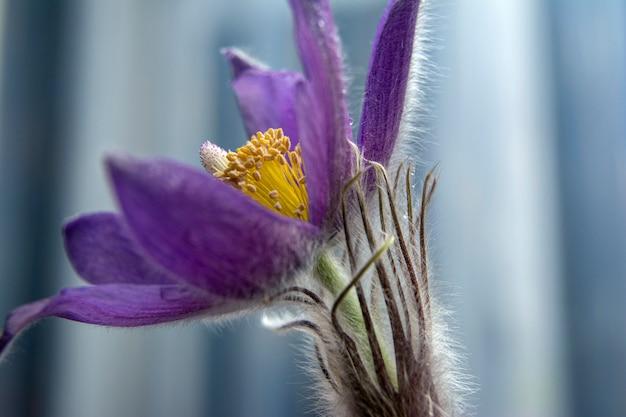 Eerste lentebloemen. floral achtergrond. flits in de foto. waterdruppels