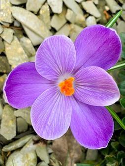 Eerste lentebloemen paarse krokussen groeien in de grond