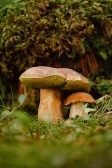 Eetbare bruine boleetpaddestoel in het de zomerbos tegen de achtergrond van mos