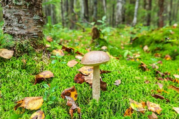 Eetbare kleine paddestoel met bruine dop penny bun leccinum in mos herfst bos achtergrond schimmel in t...