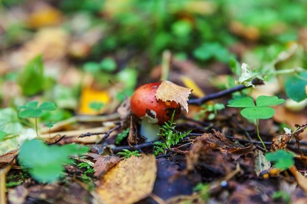 Eetbare kleine paddestoel russula met rode roodbruine dop in de bosachtergrond van de mosherfst. schimmel in de natuurlijke omgeving. grote paddestoel macro close-up. inspirerend natuurlijk zomer- of herfstlandschap.