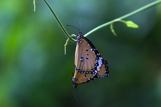 Effen tiger danaus chrysippus vlinders paren op de bloem plant in natures achtergrond
