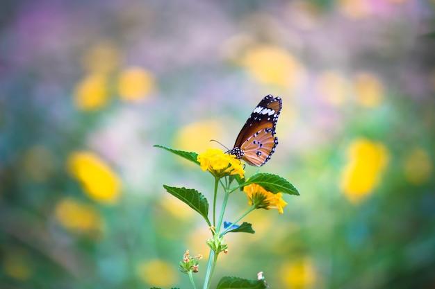 Effen tijgervlinder of ook bekend als danaus-chrysippusvlinder die op de bloemplant rust