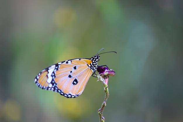 Effen tijgervlinder