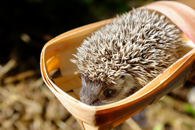 Egel in een klein mandje met bessen