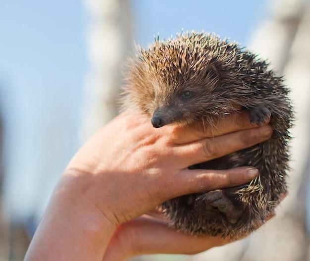 Egel in menselijke handen. bescherming van de natuur