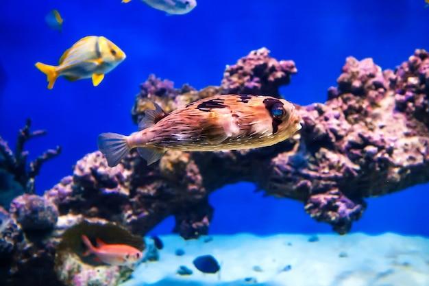 Egelvissen die onder water in een aquarium zwemmen