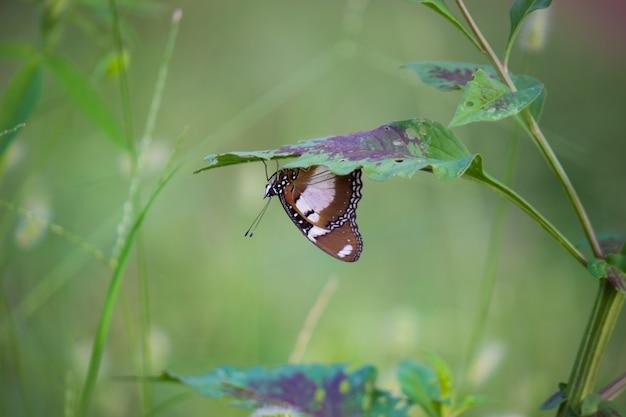 Eggfly butterfly rust onder de plant