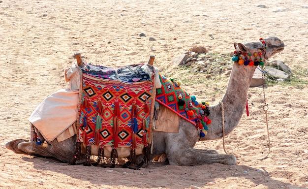 Egypte, kamelen tussen het zand van de giza-vallei