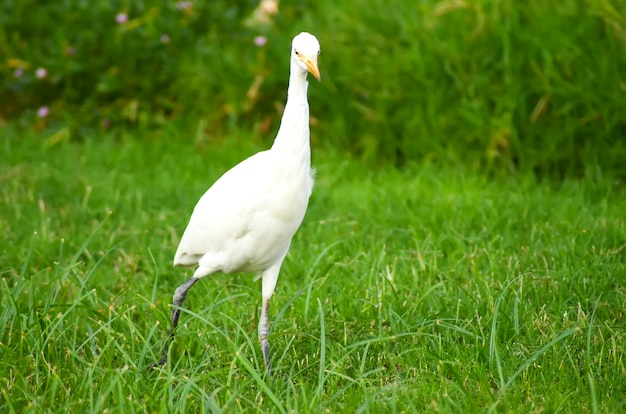 Egypte witte vogel op een groene weide