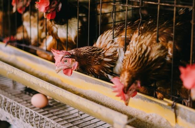 Eieren kippen, kippen in kooien industriële boerderij