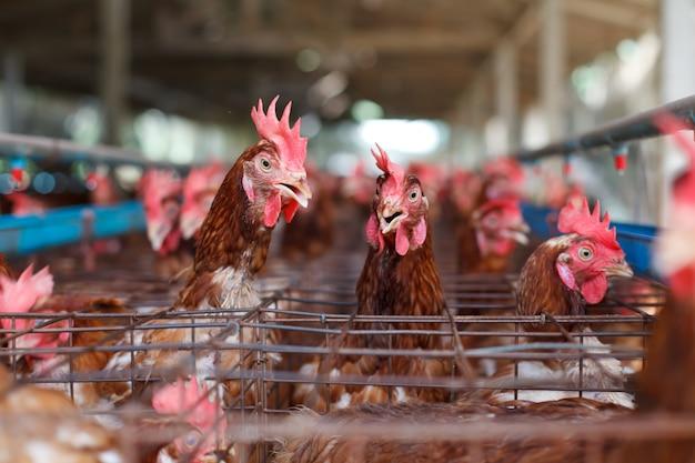 Eieren kippenboerderij.