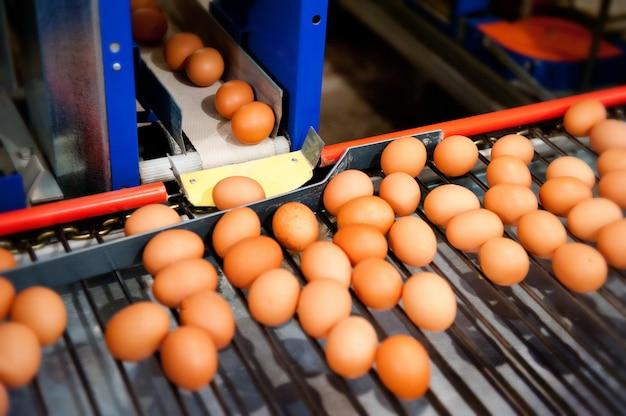 Eieren sorteren op een pluimveebedrijf