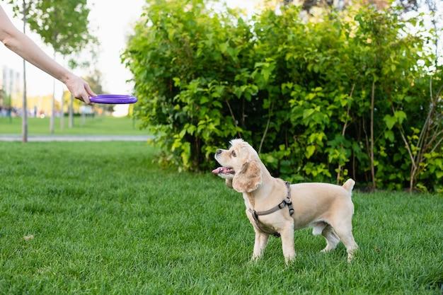 Eigenaar speelt met haar hond in het stadspark. de hand van de vrouw houdt een stuk speelgoed vast.