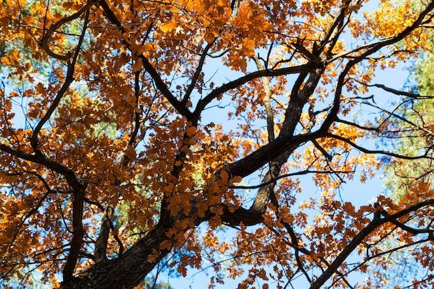 Eik van onderen met gele herfstbladeren