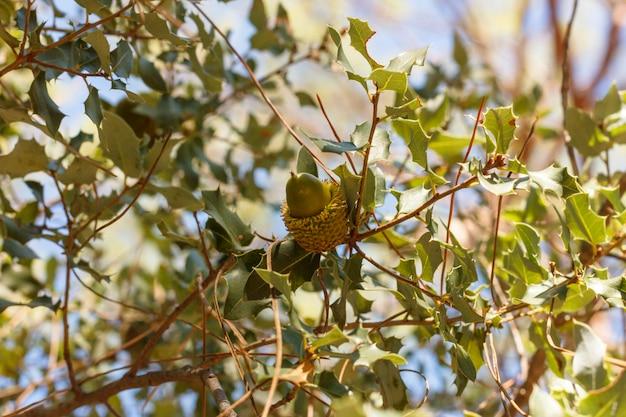 Eikel op een boomtak in het de herfstbos
