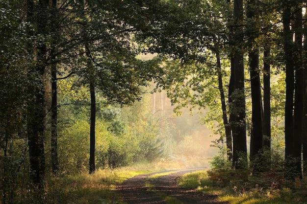 Eiken bomen verlicht door de rijzende zon in een mistige herfst bos
