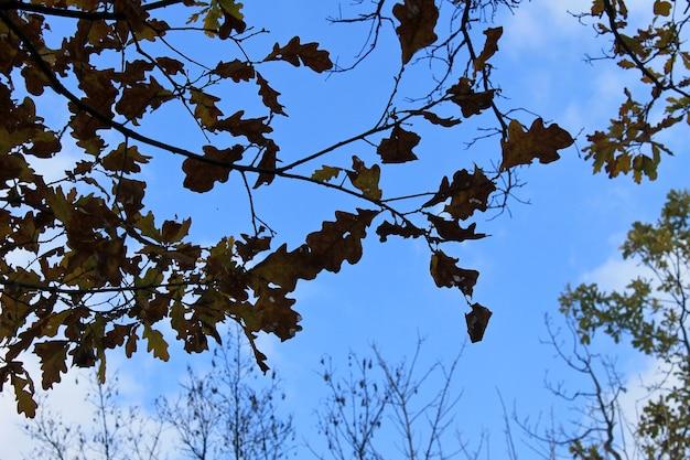 Eiken herfstbladeren op de twijg