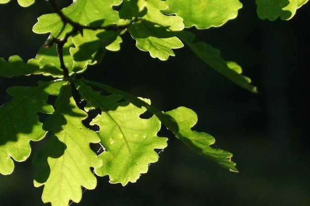 Eikenbladeren, verlicht door de zon, heldergroen op een donkere achtergrond