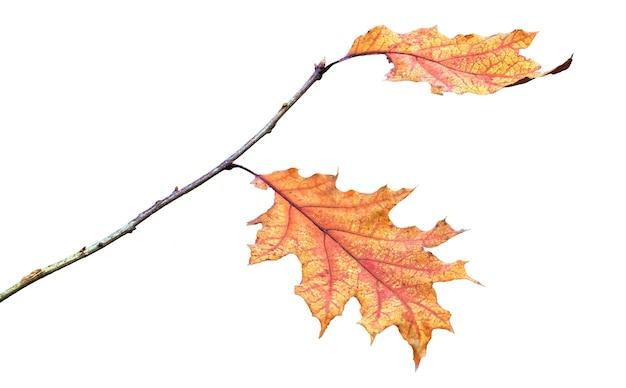 Eikentak met droge herfstbladeren