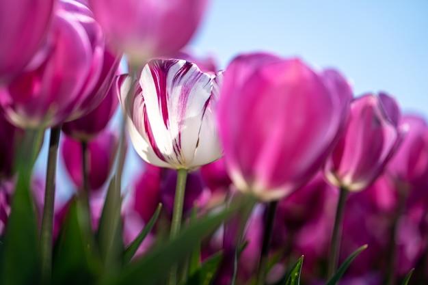 Eind april tot begin mei barsten de tulpenvelden in nederland op kleurrijke wijze in volle bloei. gelukkig zijn er honderden bloemenvelden verspreid over het nederlandse platteland