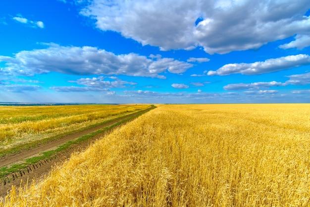 Eindeloos veld met gouden oren van rijpe tarwe op een achtergrond van blauwe lucht met wolken op een zonnige zomerdag. onverharde weg langs het veld. tarwe oogst.