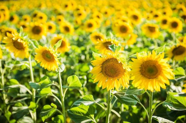 Eindeloze veld met zonnebloemen - zonnige zomerdag