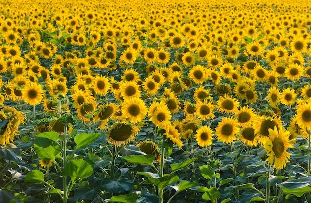 Eindeloze zonnebloem veld
