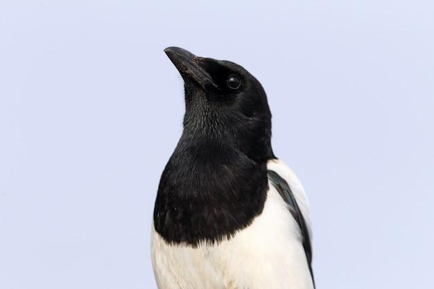 Ekster, vogels, corvidae, ekster, pica pica, pica