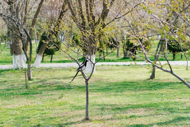 Ekster zit op een jonge boom in het voorjaar bij zonnig weer