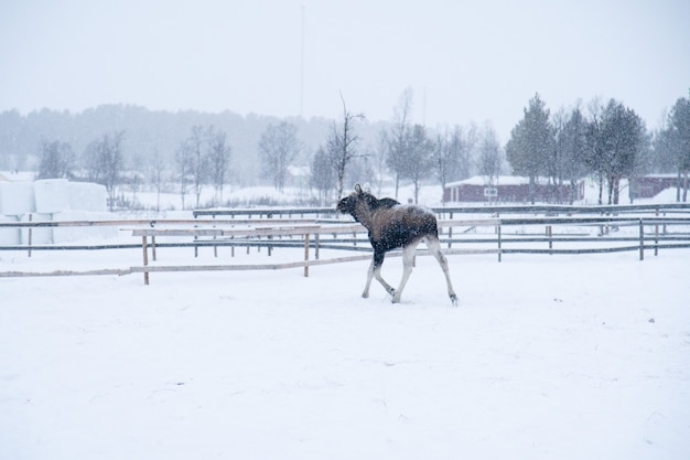 Elanden lopen in een besneeuwd veld in het noorden van zweden