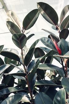 Elastica ficus met grote bladeren