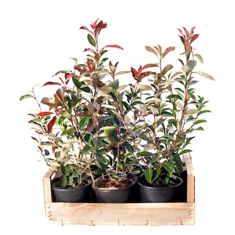 Eleagnus en photinia plant geïsoleerd