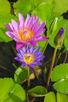 Elegante blauwe en roze leliebloemen in het water