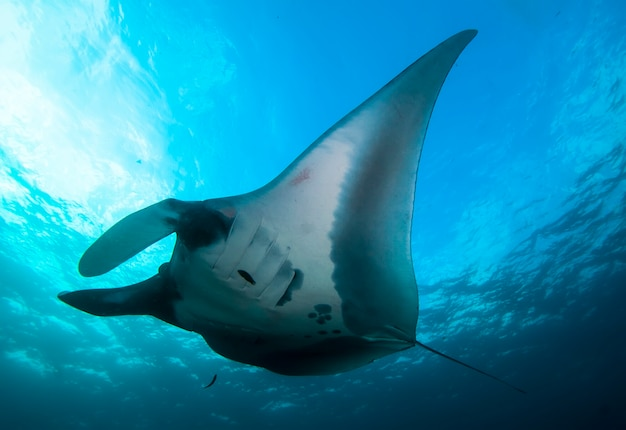 Elegante manta ray drijft onder water