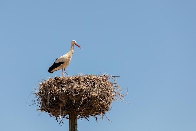 Elegante ooievaar in het nest
