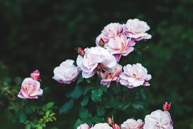 Elegante roze rozen in de tuin - distant drums nam bloemen toe tegen donkergroene bladeren