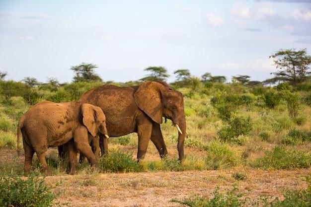 Eleofanten lopen in de savanne tussen de planten door