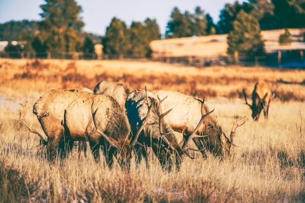 Elks gang weide