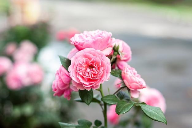 Elodie gossuin roze rozen bloeien op een stadsstraat.