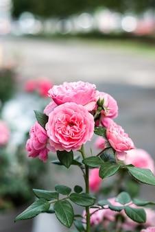 Elodie gossuin-rozenstruik met roze bloemen over grijze bokehachtergrond die in een stad tot bloei komen.