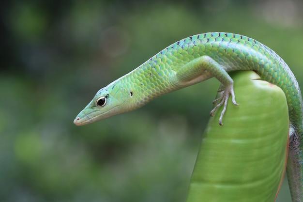 Emerald tree skink op groene bladeren reptiel close-up