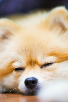 Emotionele ondersteuning dier concept. pommeren hond in de vloer slapen.