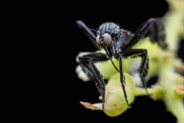 Empididae die honingdauw van bloem verzamelt