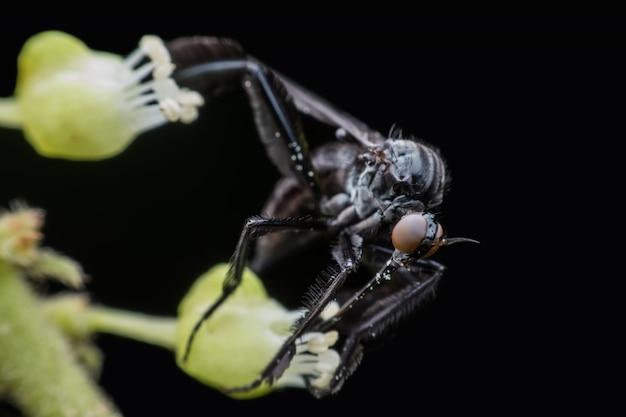 Empididae of vlieg die honingdauw van bloem verzamelt
