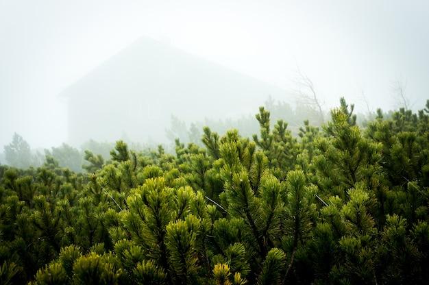 En pijnbomen in de mist