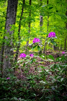 Endemische bloem rhododendron ponticum in strandja berg, bulgarije genaamd zelenika.